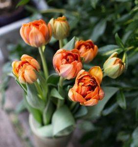 Tulipany - pomarańczowe kwiaty