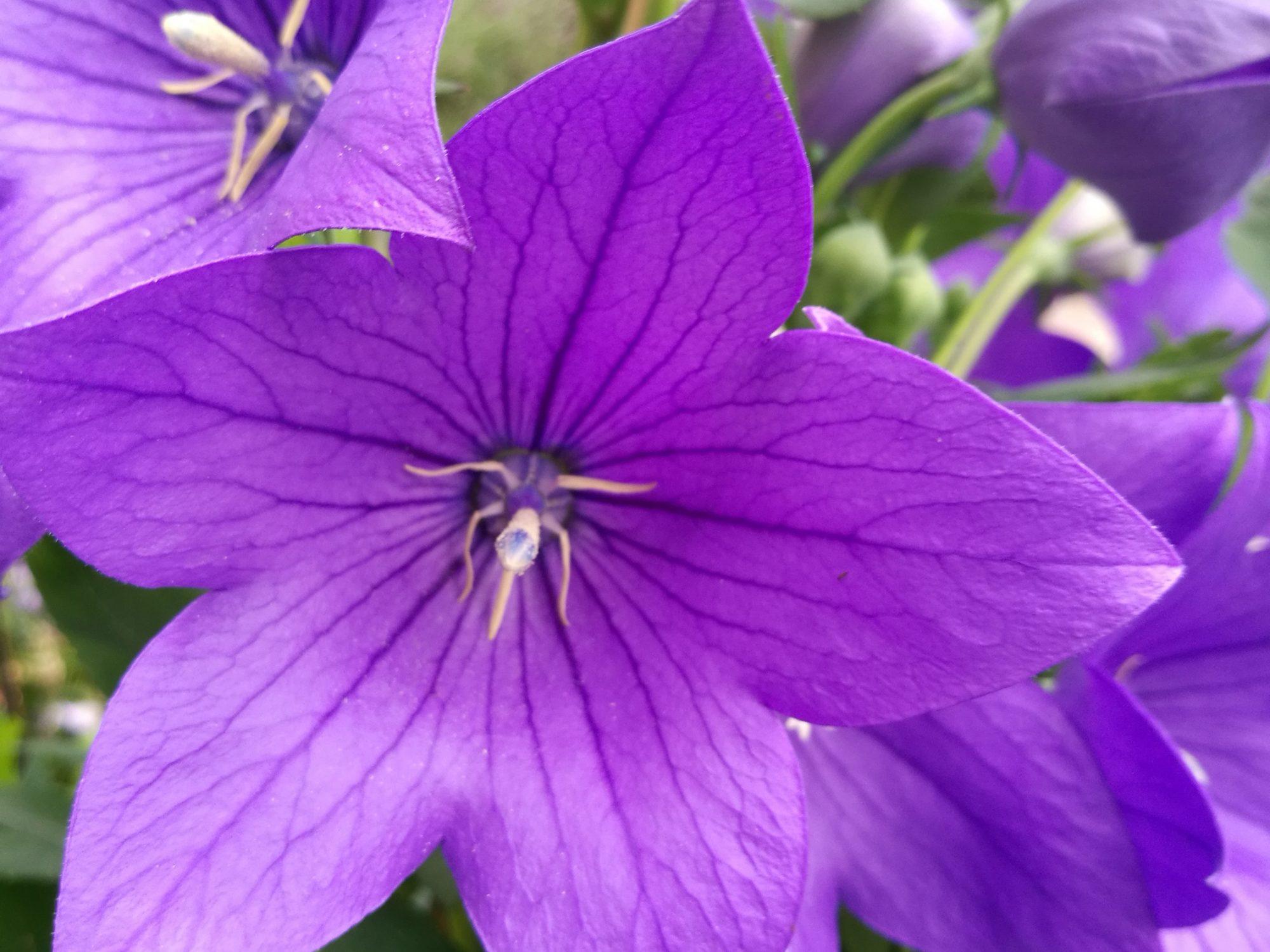 rozwar wielkokwiatowy - kwiaty w ogrodzie - własna uprawa kwiatów
