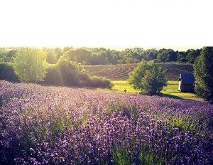 florystycznapasja-Lawendowe-Pole-by-JoannaPosoch-fot-facebook-lawendowepole.pl